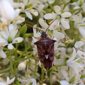 M Retallack - Predatory shield bug on Bursaria spinosa