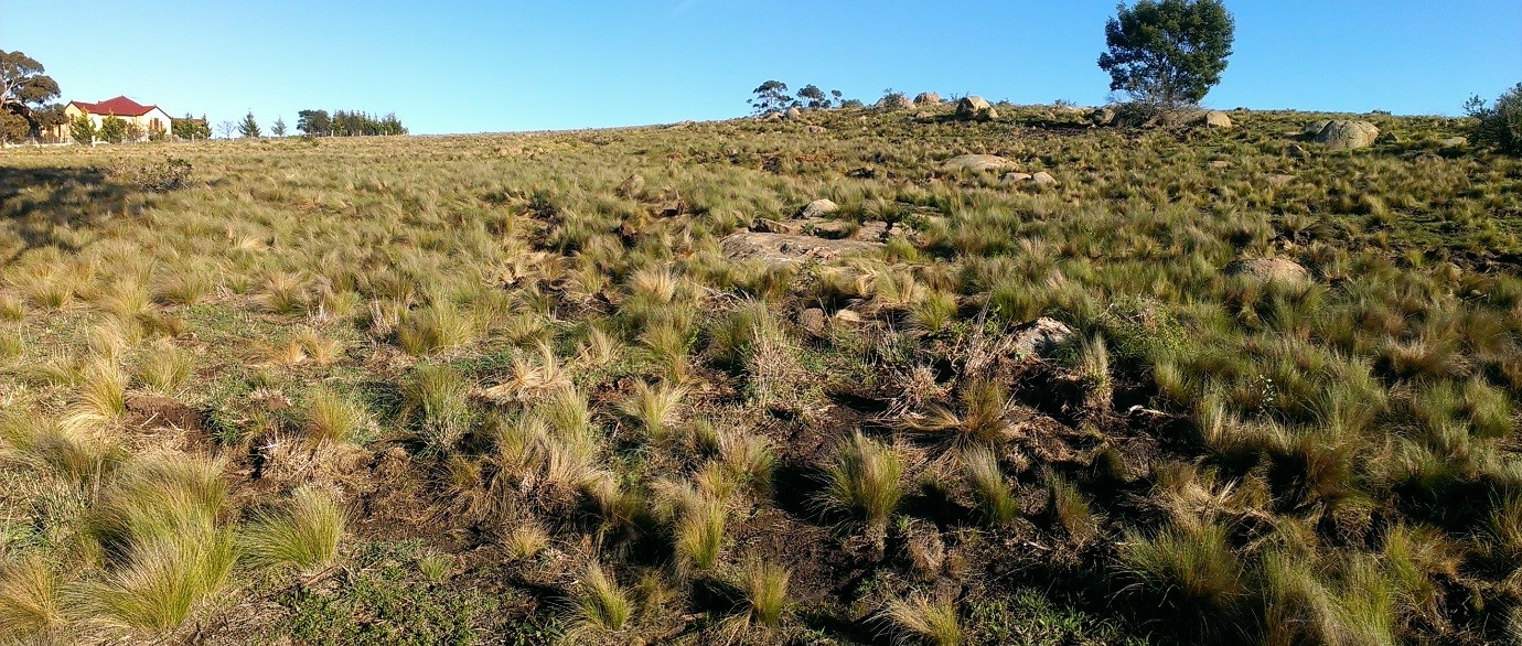 Serrated Tussock in a field